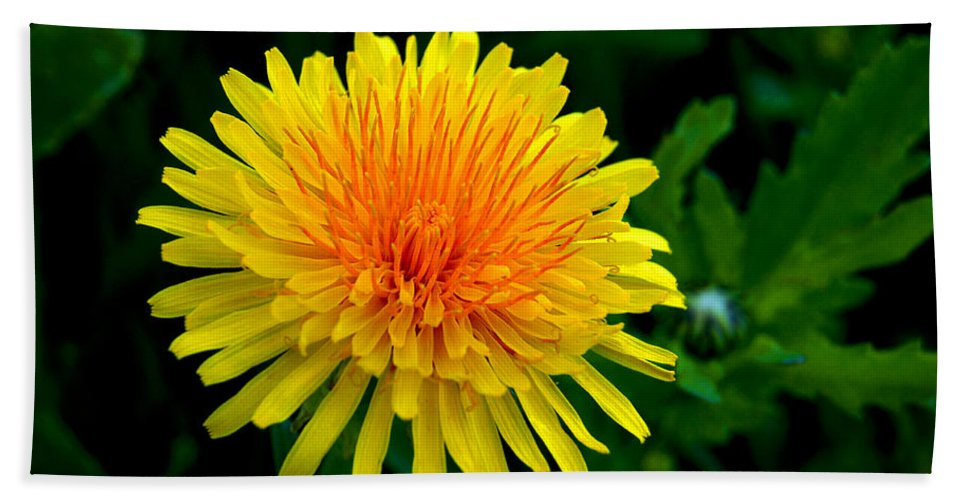 Dandelion Beach Towel featuring the photograph Dandy Among Daisies by Bill Pevlor