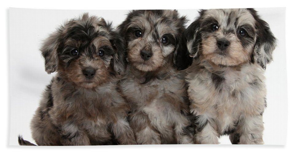 Nature Beach Towel featuring the photograph Daxiedoodle Poodle X Dachshund Puppies by Mark Taylor
