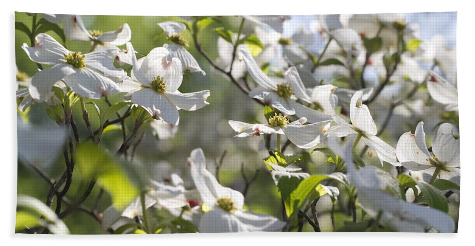 Dogwood Beach Towel featuring the photograph Dazzling Sunlit White Spring Dogwood Blossoms by Kathy Clark