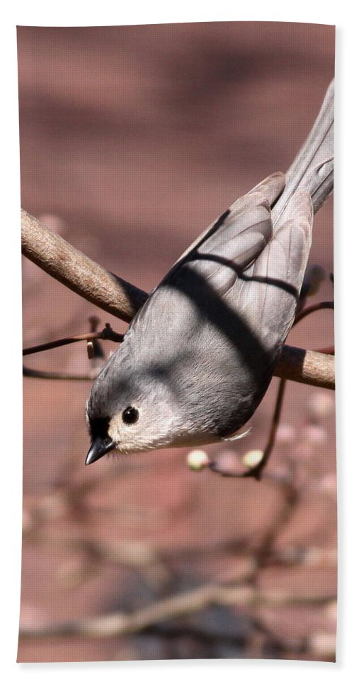 Tufted Titmouse Beach Towel featuring the photograph Decked Out - Tufted Titmouse by Travis Truelove