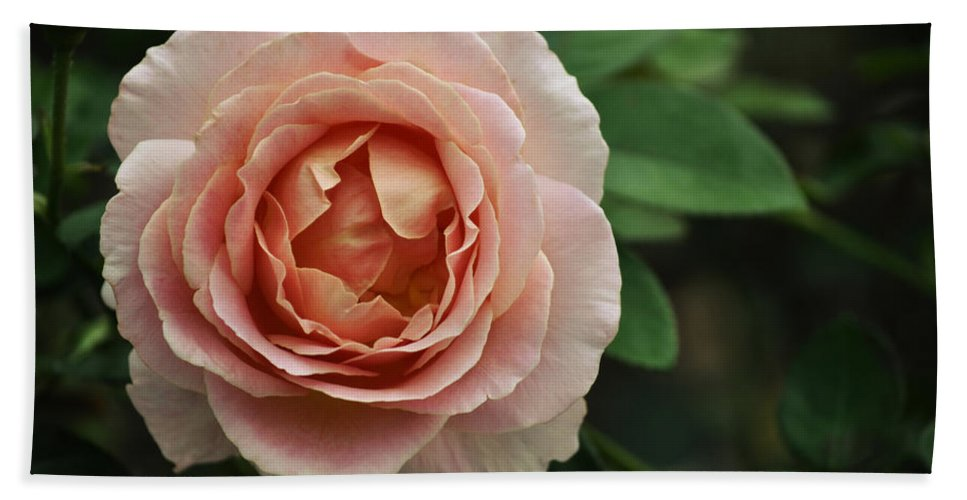 Pink Rose Beach Towel featuring the photograph Delicate Pink Rose by Mary Machare