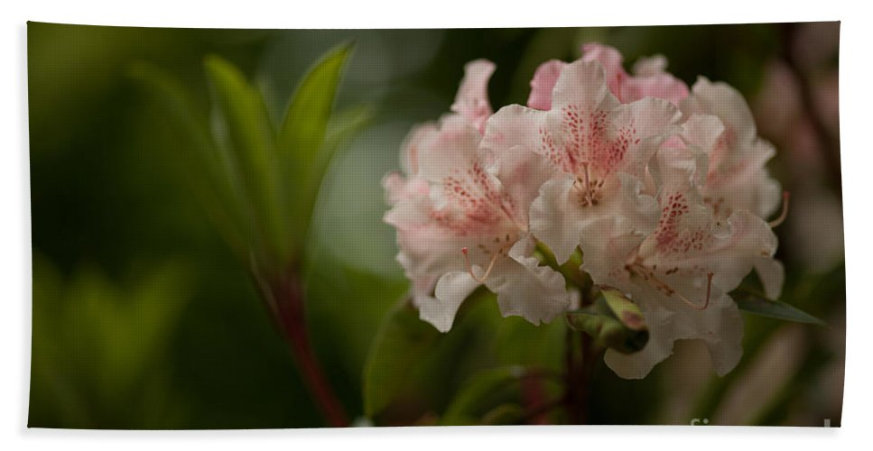 Rhodies Beach Towel featuring the photograph Delicately Peach by Mike Reid