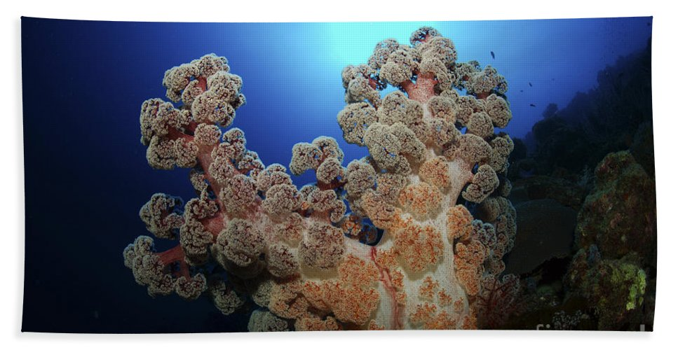Coral Beach Towel featuring the photograph Dendronephthya Soft Coral, Acasta Reef by Mathieu Meur