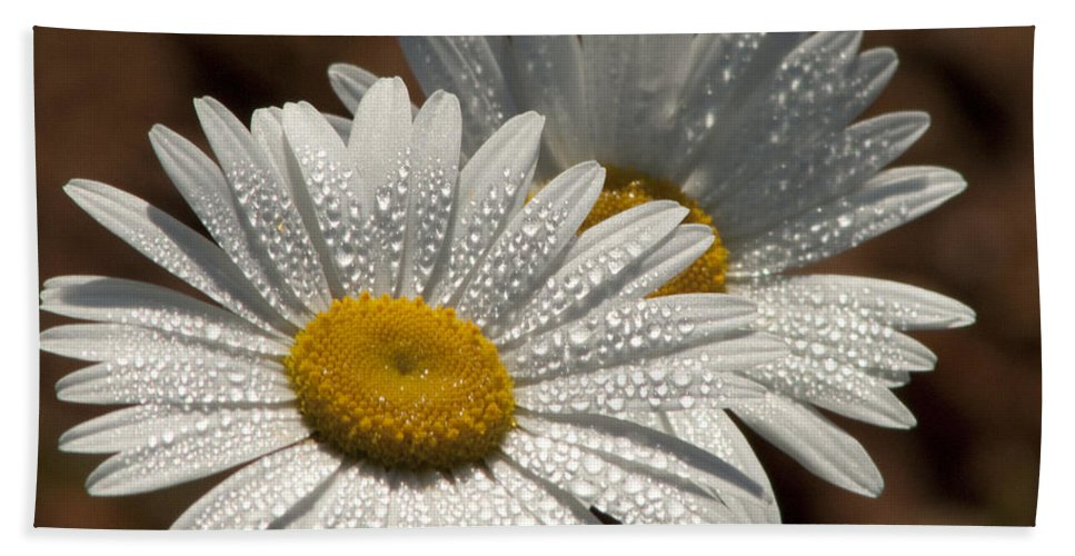 Daisy Beach Towel featuring the photograph Dew Tell Oxeye Daisy Wildflowers by Kathy Clark