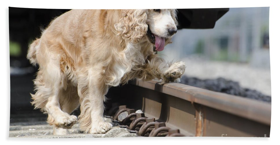 Dog Beach Towel featuring the photograph Dog Walking Over Railroad Tracks by Mats Silvan