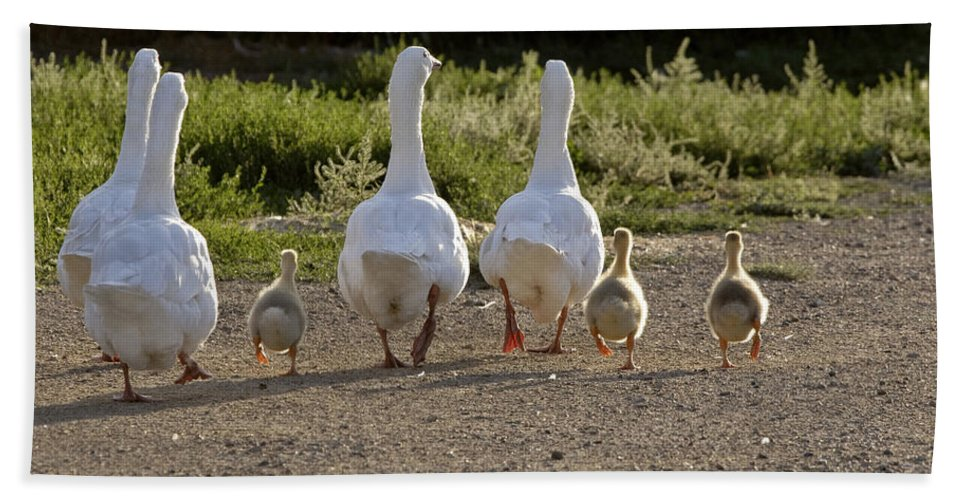 Geese Beach Towel featuring the photograph Domestic Geese With Goslings by Mark Duffy
