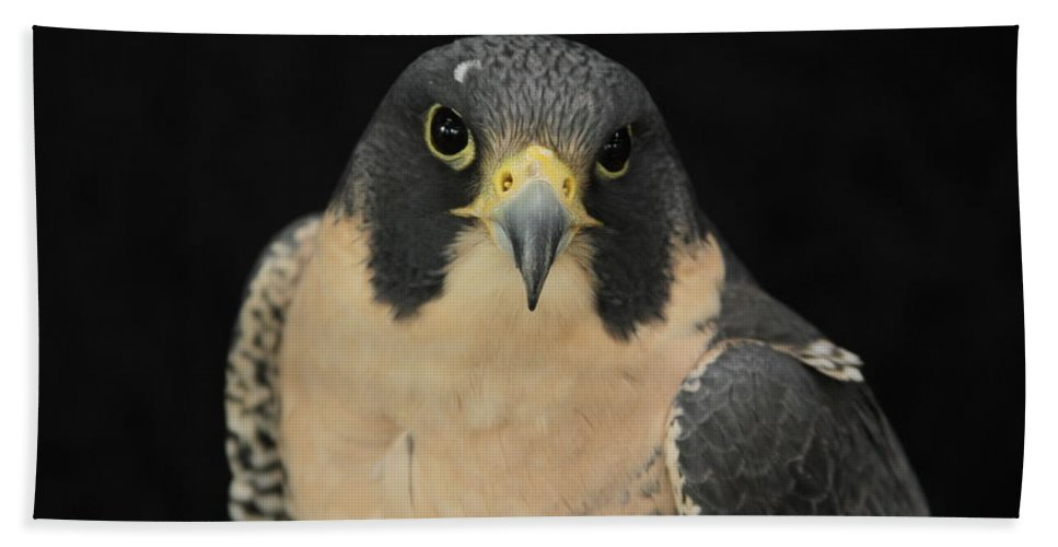 Peregrine Falcon Beach Towel featuring the photograph Don't Flinch... I Am Looking At You by Laddie Halupa