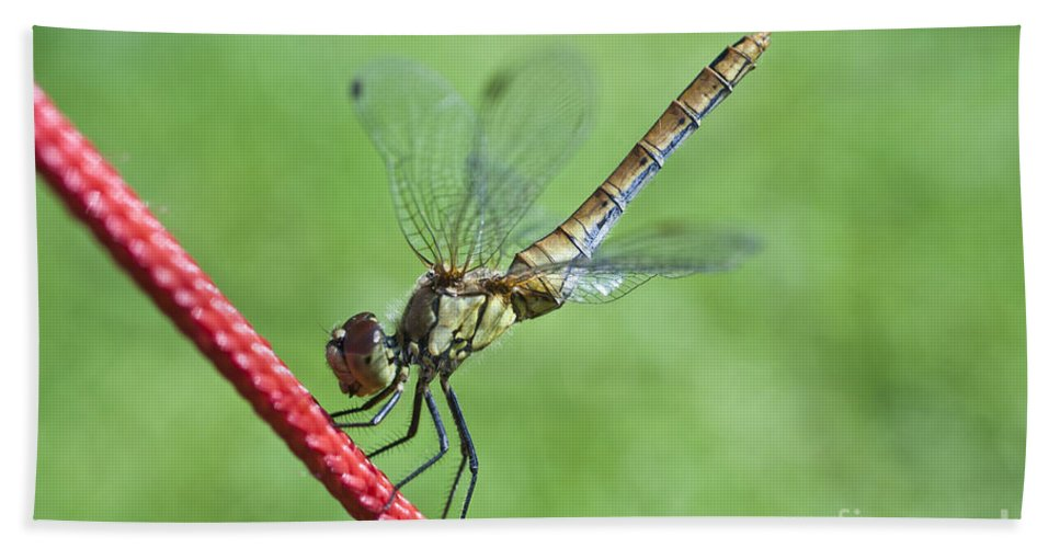 Nature Beach Towel featuring the photograph Dragonfly On A String by Heiko Koehrer-Wagner