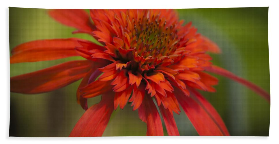 Coneflower Beach Towel featuring the photograph Dreamy Hot Papaya Coneflower Bloom by Teresa Mucha