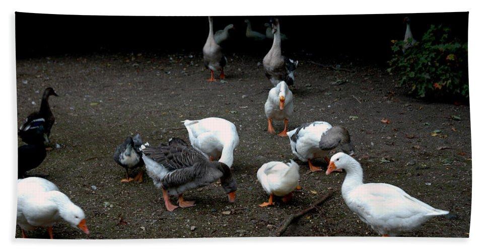 Usa Beach Towel featuring the photograph Duck Duck Goose by LeeAnn McLaneGoetz McLaneGoetzStudioLLCcom