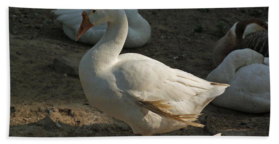 Delhi Beach Towel featuring the photograph Duck Enjoying The Sun In The Winter In Delhi Zoo by Ashish Agarwal