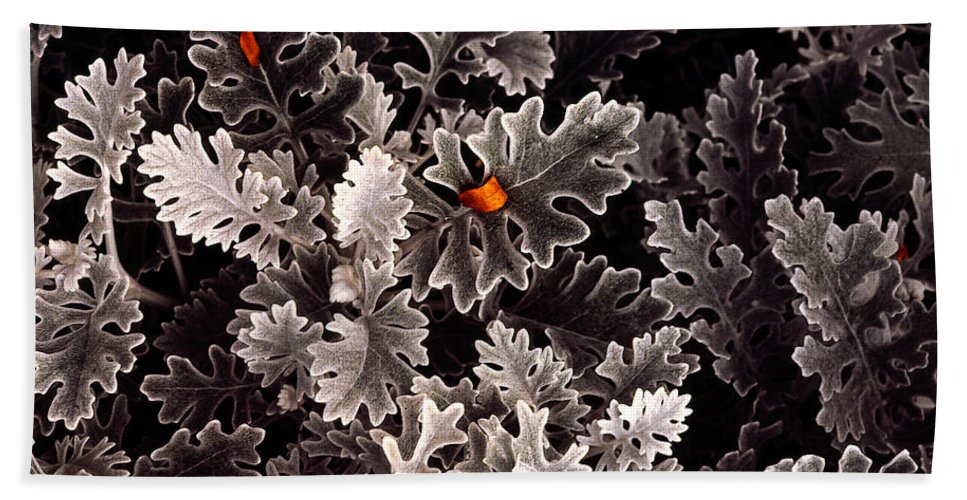Dusty Miller Beach Towel featuring the photograph Dusty Miller by Mike Nellums