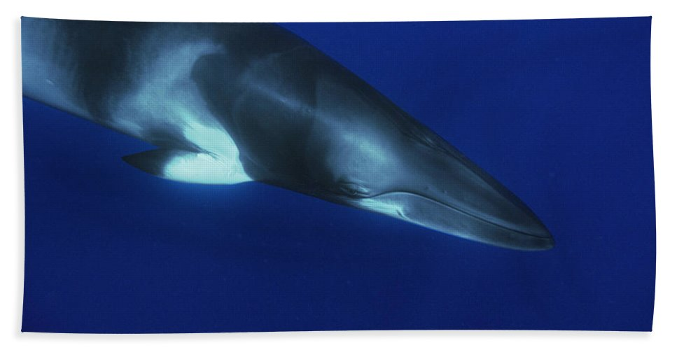 00129700 Beach Towel featuring the photograph Dwarf Minke Whale Western Australia by Flip Nicklin