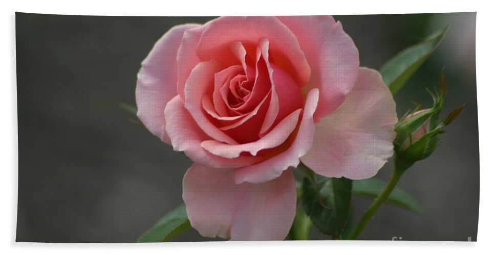 Rose Beach Towel featuring the photograph Early Morning Rose by Living Color Photography Lorraine Lynch