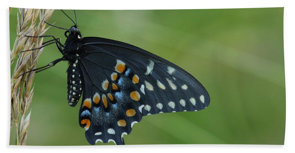 Papilio Polyxenes Beach Towel featuring the photograph Eastern Black Swallowtail Butterfly by Daniel Reed