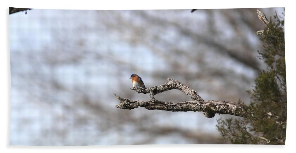 Nature Beach Towel featuring the photograph Eastern Bluebird - Old And Alive by Travis Truelove