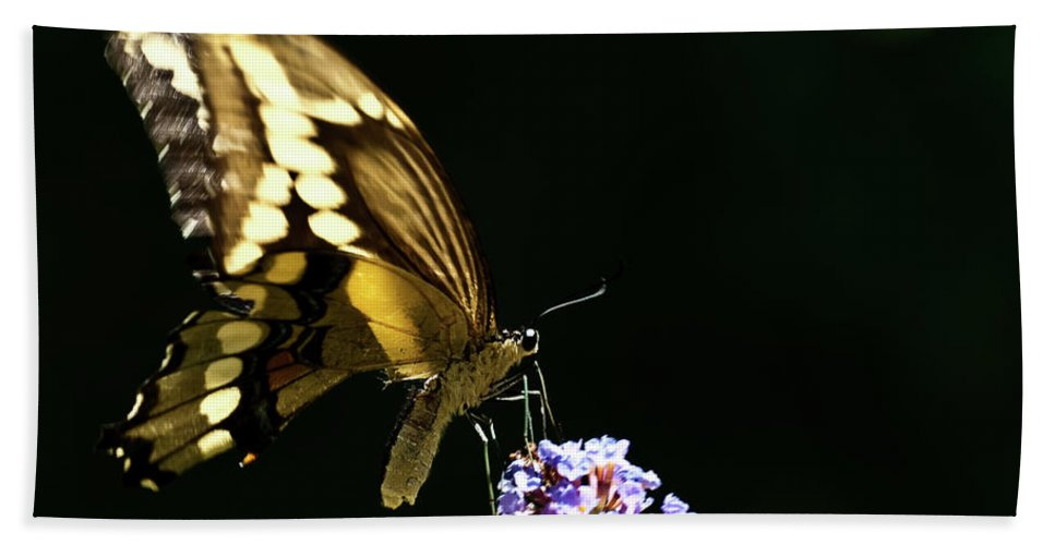 Eastern Tiger Swallowtail Papilio Glaucus Beach Towel featuring the photograph Eastern Tiger Swallowtail Butterfly On Butterfly Bush by Onyonet Photo Studios