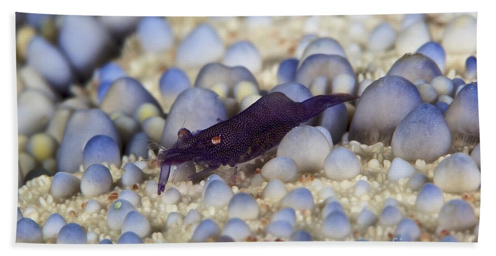 Emperor Shrimp Beach Towel featuring the photograph Emporer Shrimp On A Large Pin Cushion by Terry Moore
