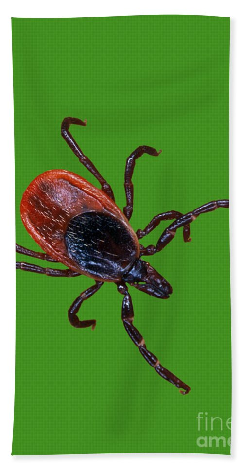 Animal Beach Towel featuring the photograph Female Blacklegged Tick by Science Source