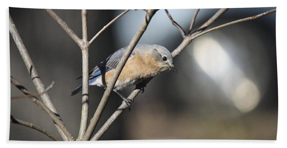 Bluebird Beach Towel featuring the photograph Female Bluebird by Teresa Mucha