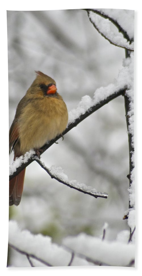 Adult Beach Towel featuring the photograph Female Cardinal 3656 by Michael Peychich