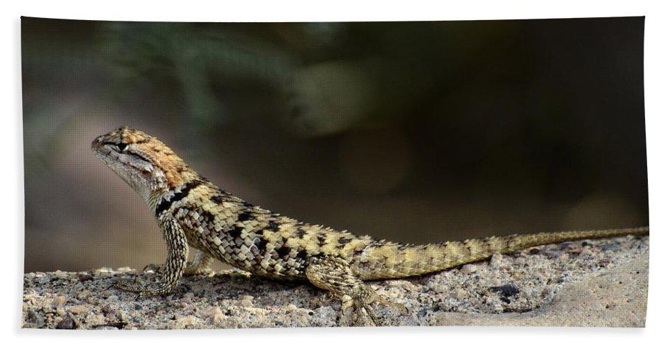Desert Spiny Lizard Beach Towel featuring the photograph Female Desert Spiny Lizard by Saija Lehtonen