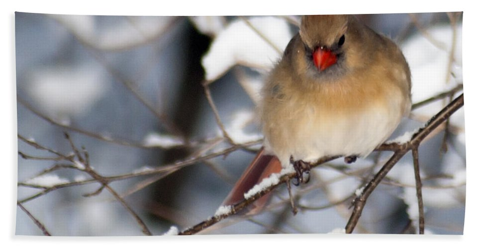 Birds Beach Towel featuring the photograph Female Northern Cardinal 4300 by Michael Peychich