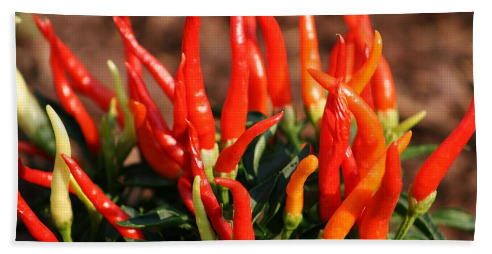Capsicum Annuum Beach Towel featuring the photograph Firey Red Hot Chili Peppers by Kathy Clark