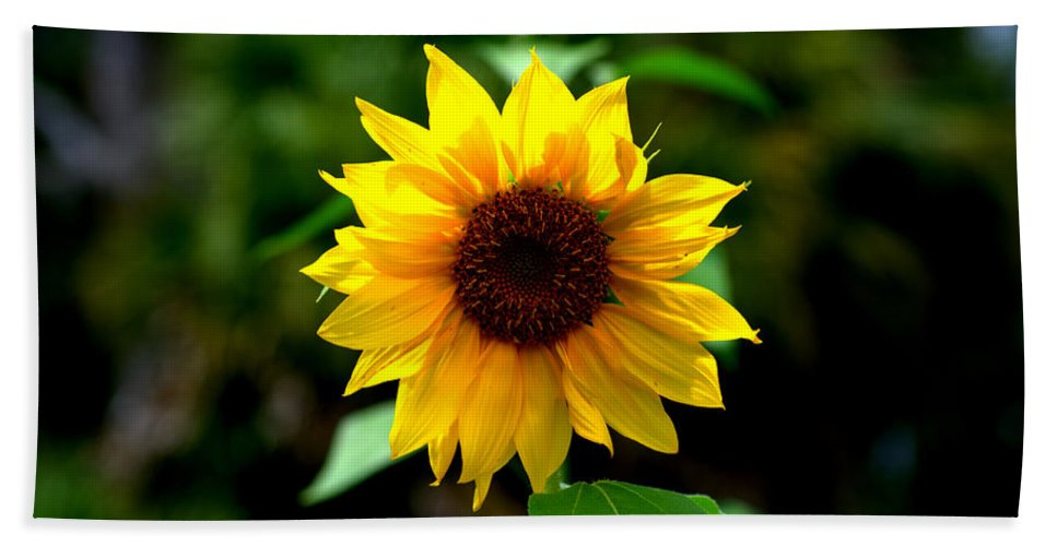Sunflower Beach Towel featuring the photograph First In Bloom by Kari Tedrick
