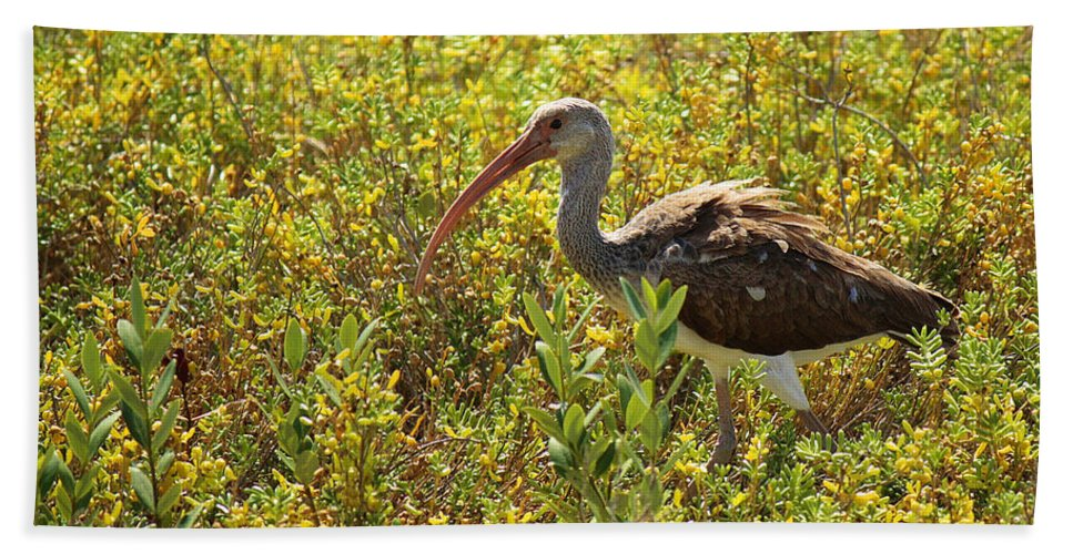 Roena King Beach Towel featuring the photograph First Year White Ibis by Roena King