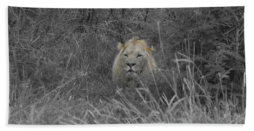Lion Beach Towel featuring the photograph Fit For A King by Douglas Barnard