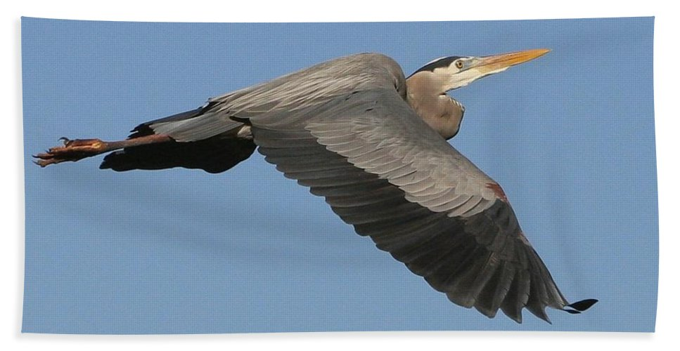Birds Beach Towel featuring the photograph Flight Of The Great Blue Heron by Myrna Bradshaw
