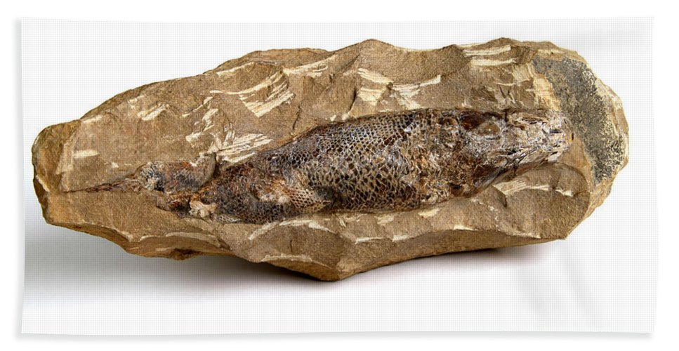 Nature Beach Towel featuring the photograph Fossilized Fish by Photo Researchers