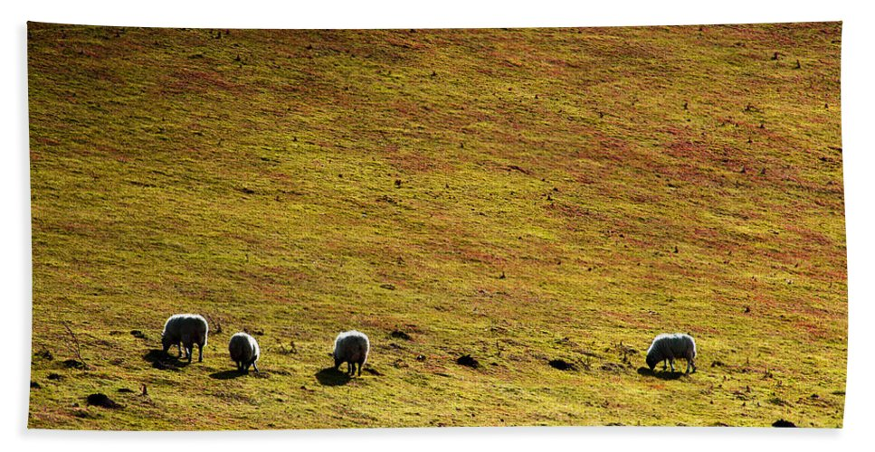 Animal Beach Towel featuring the photograph Four Sheep by Svetlana Sewell