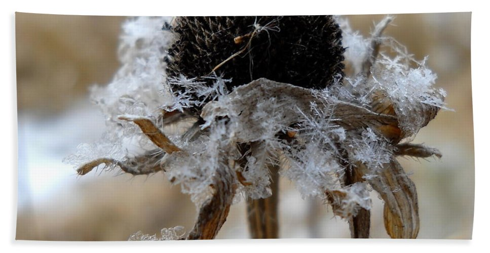 Close Up Beach Towel featuring the photograph Frost And Snow On Dead Daisy by Kent Lorentzen