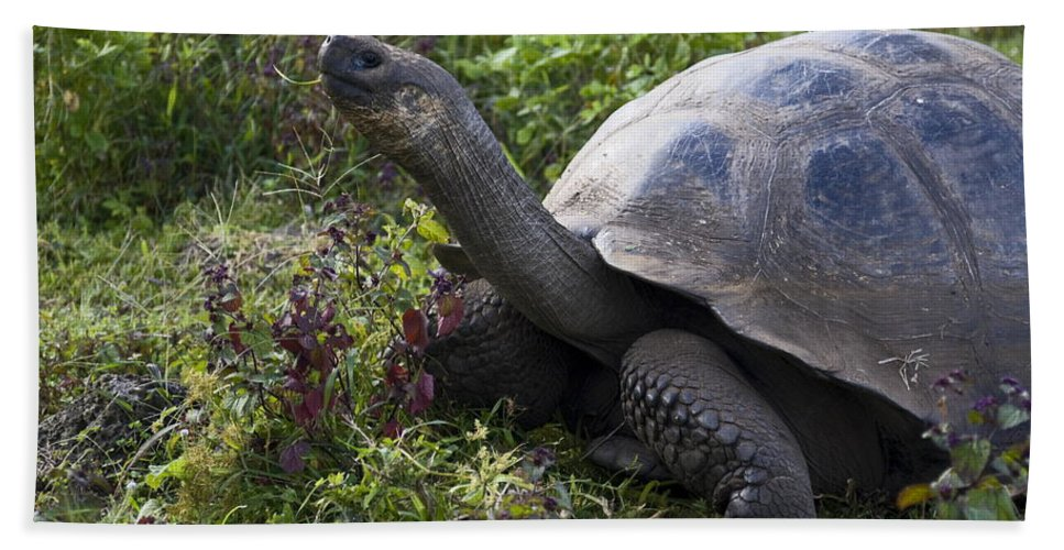 Galapagos Tortoise Beach Towel featuring the photograph Galapagos Tortoise Inching Along by Sally Weigand