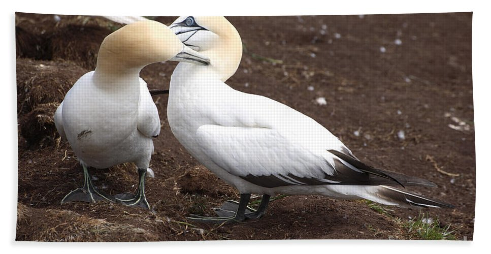 Northern Gannet Beach Towel featuring the photograph Gannets Showing Mutual Preening Behavior by Ted Kinsman