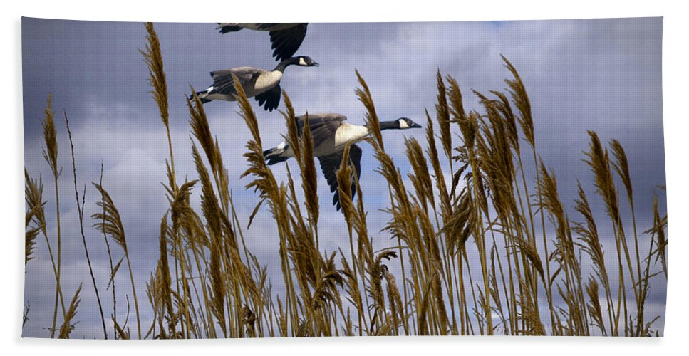 Art Beach Towel featuring the photograph Geese Coming In For A Landing by Randall Nyhof