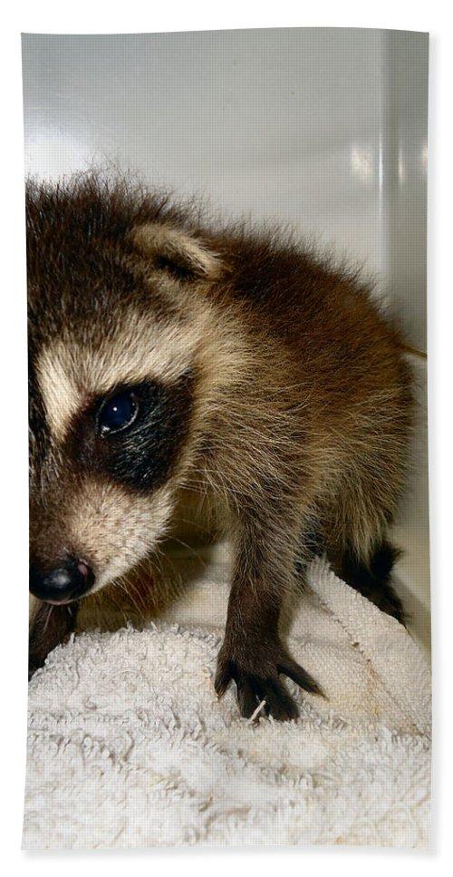 Raccoon Beach Towel featuring the photograph Gentleness by Art Dingo
