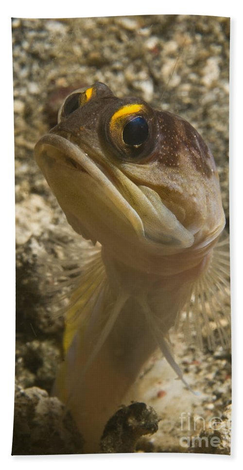 Indonesia Beach Towel featuring the photograph Gold-speck Jawfish Pouting, North by Mathieu Meur