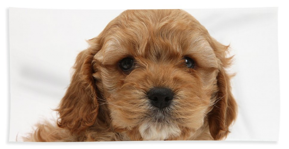 Animal Beach Towel featuring the photograph Golden Cockerpoo Puppy by Mark Taylor