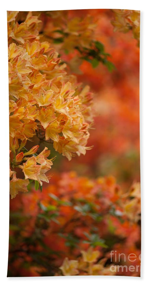 Rhodies Beach Towel featuring the photograph Golden Orange Radiance by Mike Reid
