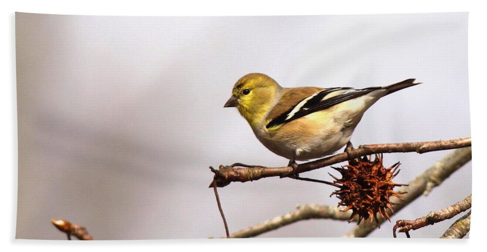 Goldfinch Beach Towel featuring the photograph Goldfinch In Sweetgum by Travis Truelove