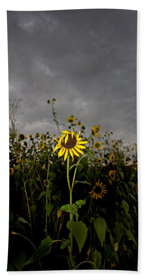 Clouds Beach Towel featuring the photograph Goth Sunflower by Peter Tellone