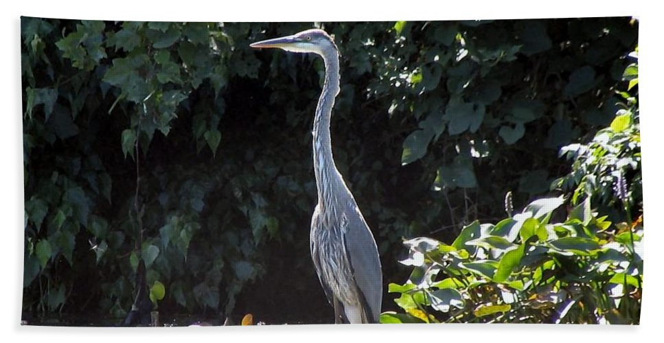 Heron Beach Towel featuring the photograph Great Blue by Art Dingo