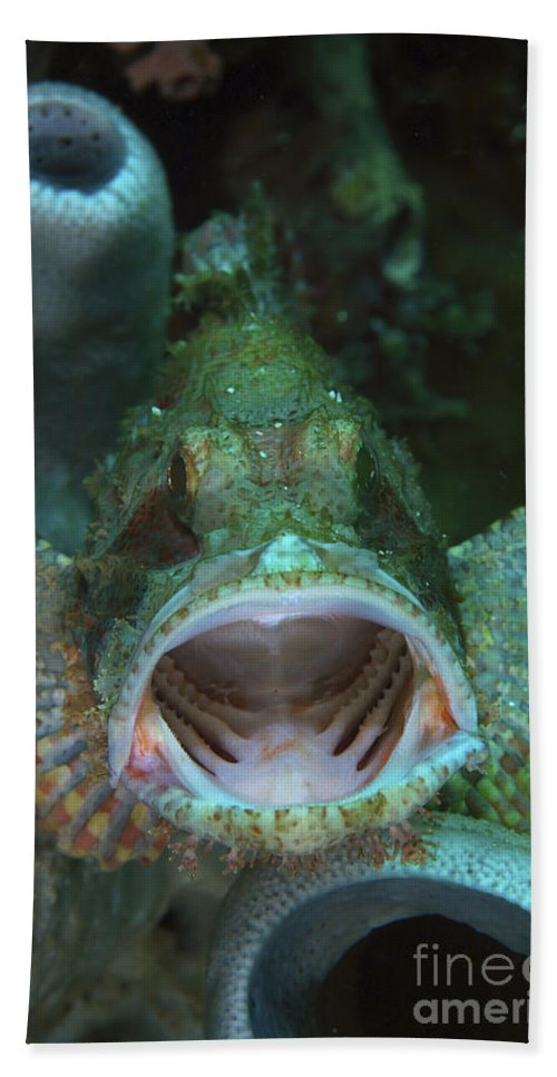 Portrait Beach Towel featuring the photograph Green Grouper With Open Mouth, North by Mathieu Meur