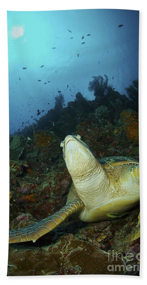 Head And Shoulders Beach Towel featuring the photograph Green Turtle On Reef, Manado, North by Mathieu Meur