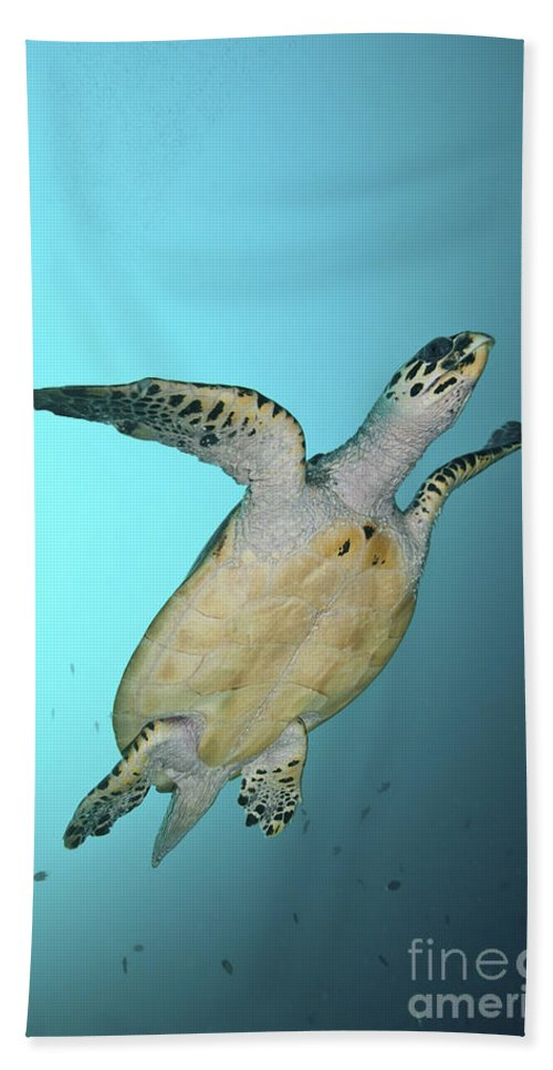 Malaysia Beach Towel featuring the photograph Green Turtle Swimming, Sabah, Malaysia by Mathieu Meur