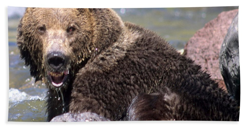 Grizzly Beach Towel featuring the photograph Grizzly Cavorts In Stream by Larry Allan