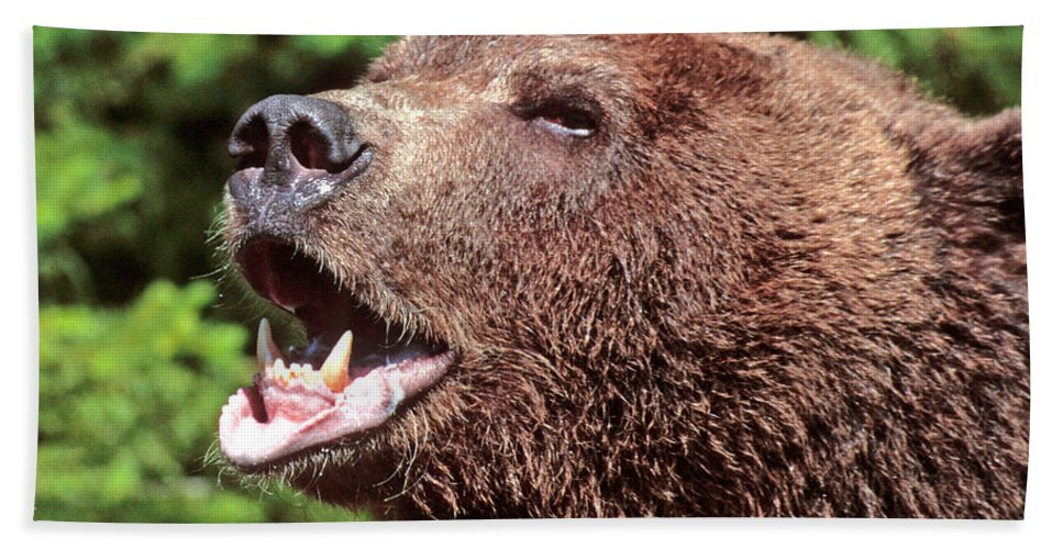 Grizzly Beach Towel featuring the photograph Grizzly Or Alaska Brown Bear by Larry Allan
